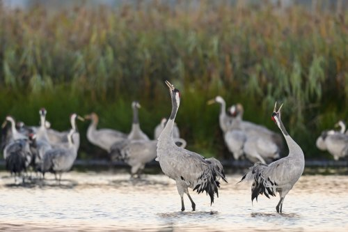 """Kraniche nennt man auch """"Vögel des Glücks"""". (Foto: Dieter Damschen)"""